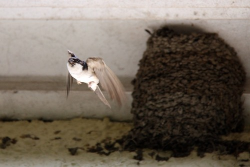 House_martin_flying_from_a_mud_nest_under_eaves