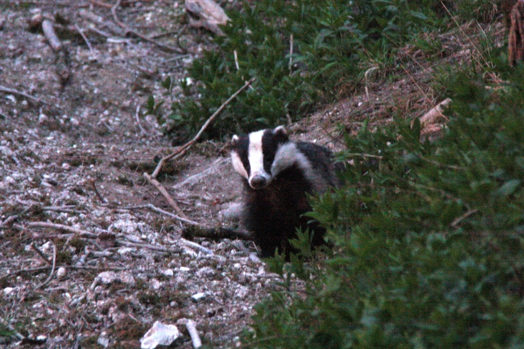 South Downs Badger in the Dark Blog