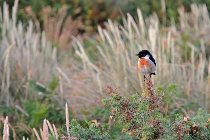 Stonechat_on_Gorse_Bush