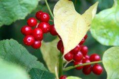 Bittersweet Berries
