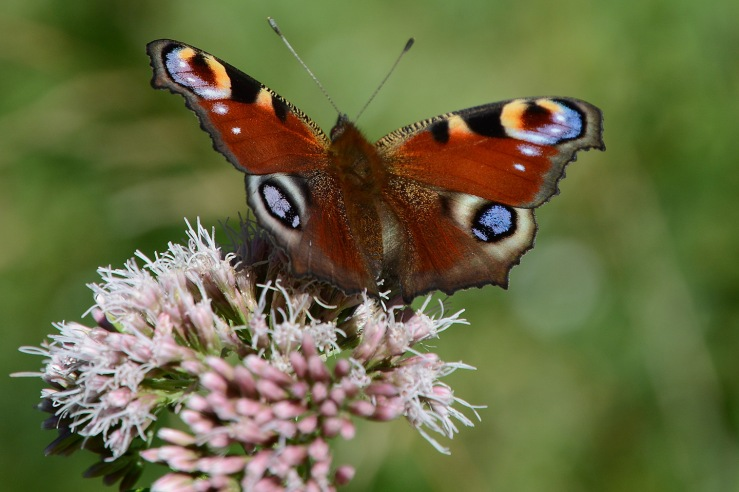 Peacock-Butterfly-Sussex