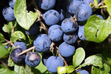Wild Damsons September Sussex