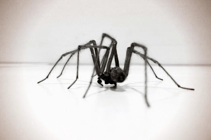 House Spider Sussex