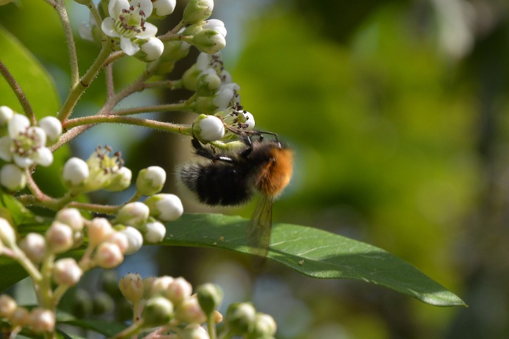 European Tree Bumblebee in Sussex