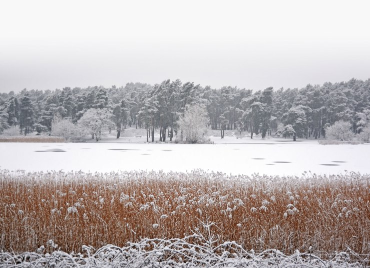 Frensham-Pond-Reedbeds-in-the-snow