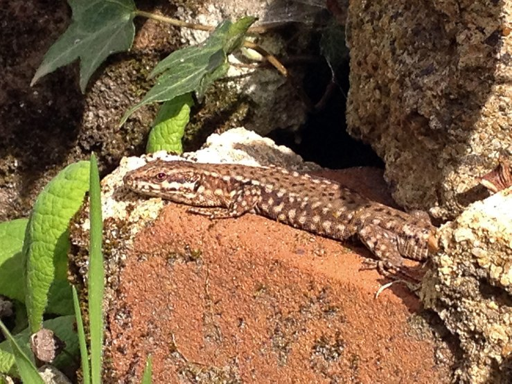 Common Lizard in the garden West Sussex