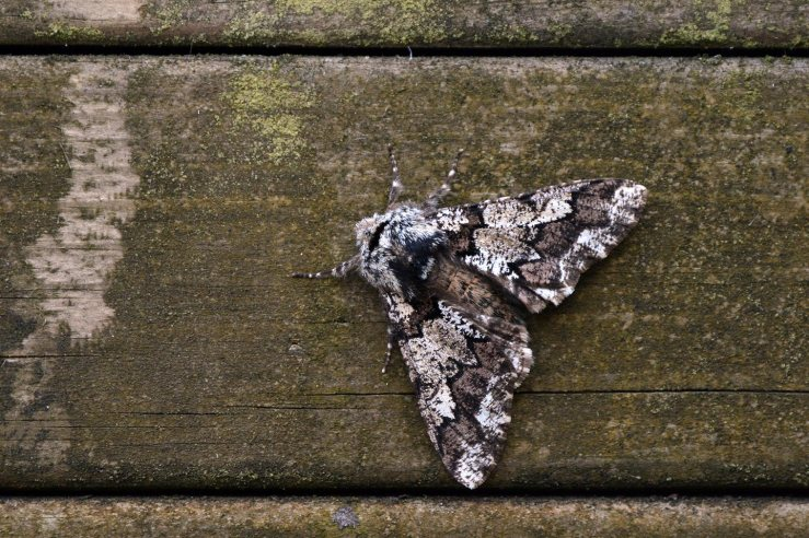 Oak Beauty Moth March Sussex