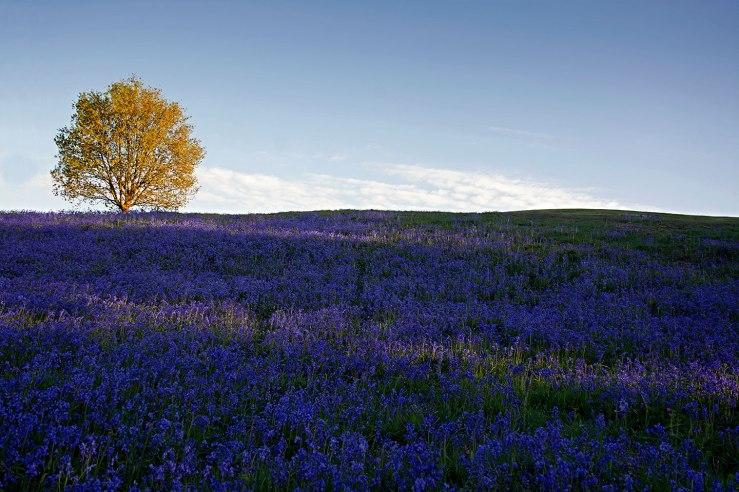 Bluebells Midhurst West Sussex