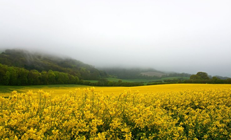 Yellow Rape Fields West Sussex