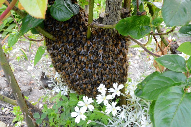 Bee swarm in the garden