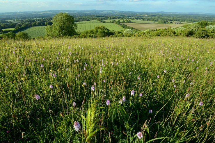 Bepton Down Orchids