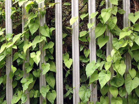 Bind weed on a fence