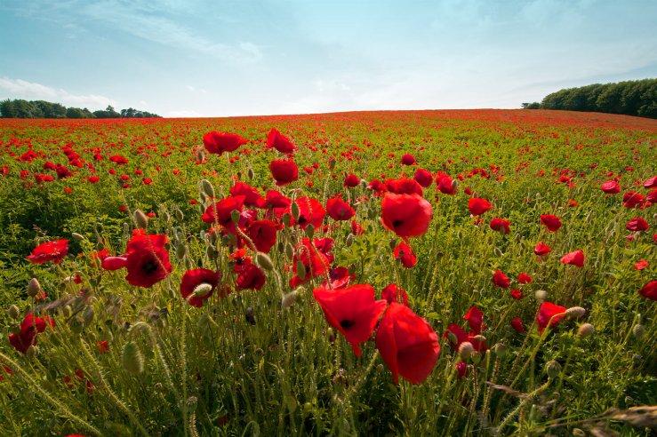 Field of poppies set-aside
