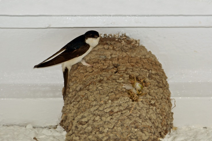 House Martin nest in Bepton West Sussex