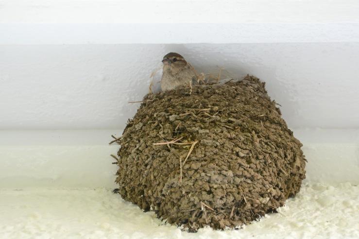 House Sparrow in a House Martin nest