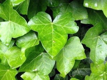 Ivy leaves