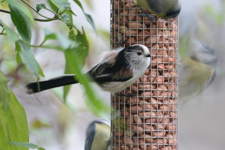 Long tailed tit on bird feeder peanuts