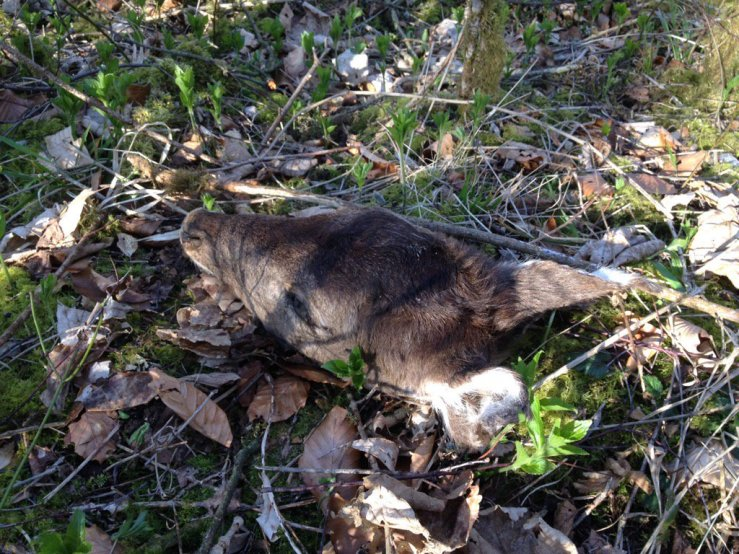 Fallow deer head