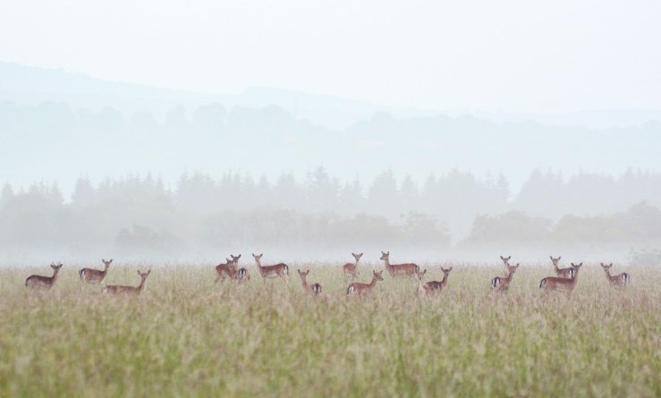 Fallow-Deer-South-Downs