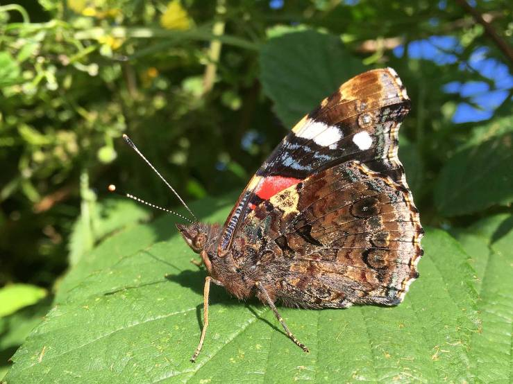 Red-Admiral-Butterfly-Sussex-Underside