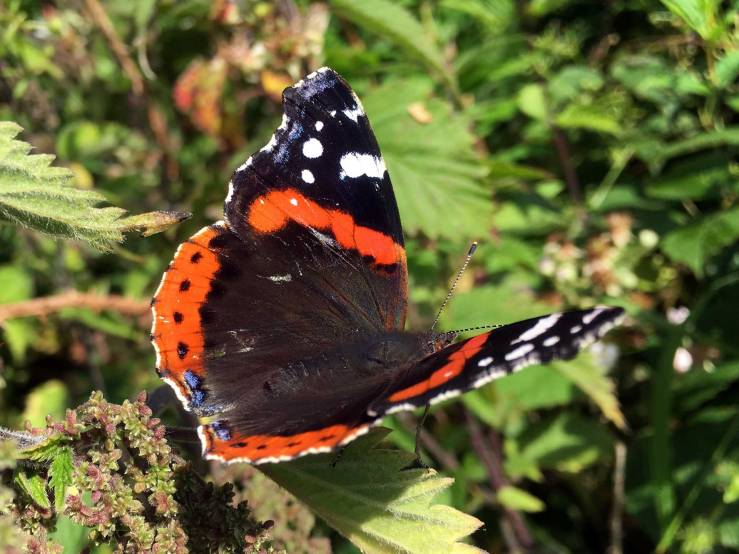 Red-Admiral-Butterfly-Sussex-Wings