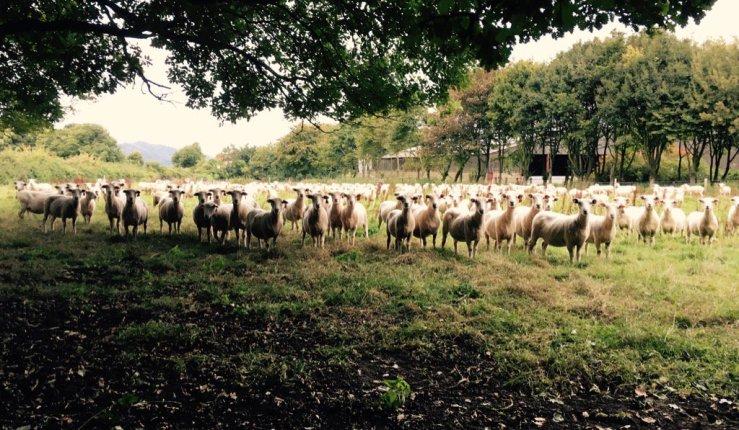 New Zealand Romney Sheep