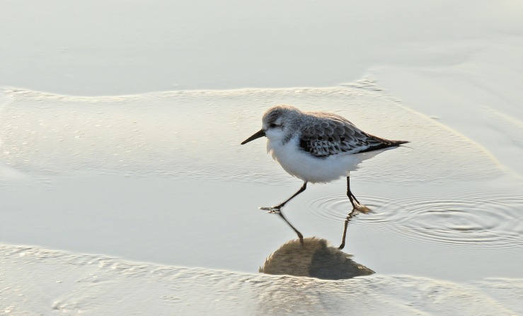 Sanderling Bird on Bracklesham Beach