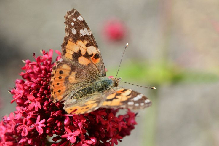 Painted Lady Butterfly Sussex