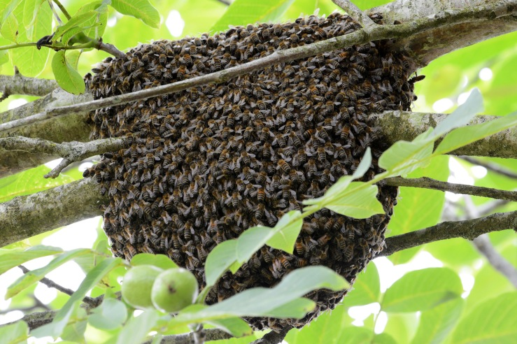 A swarm of bees in a tree in a garden in Sussex UK