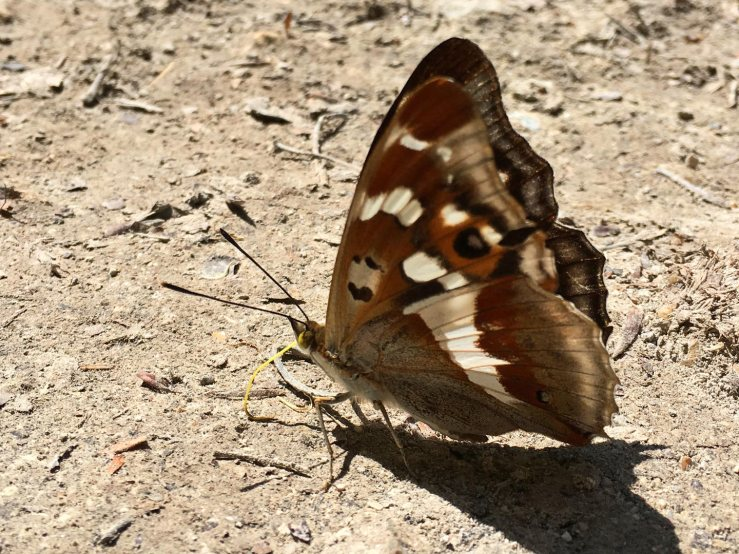 Purple-Emperor-Butterfly-Sussex-South-Downs-underwing.jpg