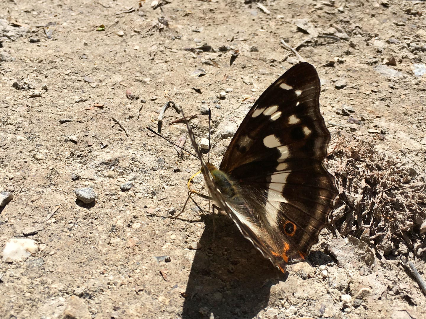 Purple-Emperor-Butterfly-Sussex-South-Downs.jpg