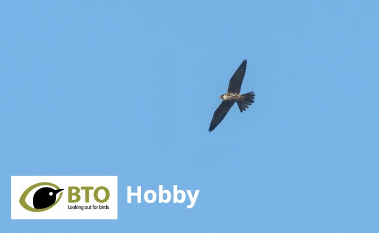 Hobby Falcon BTO in Flight