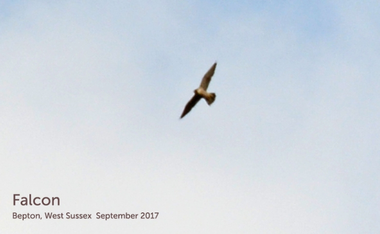 Peregrine or Hobby Falcon in flight?