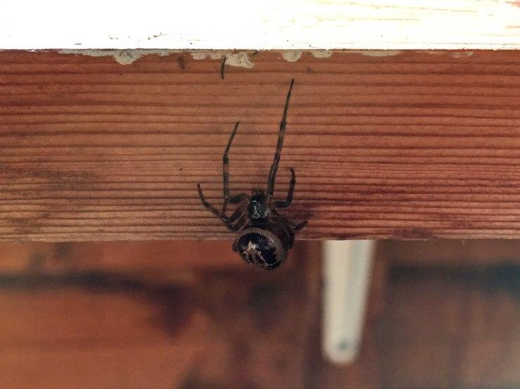 False Widow Spider Sussex