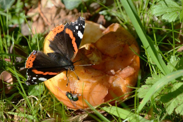 Red Admiral butterfly on a windfall apple