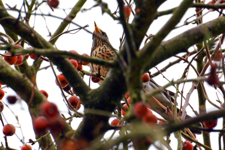 Fieldfare in a crab apple tree Bepton West Sussex