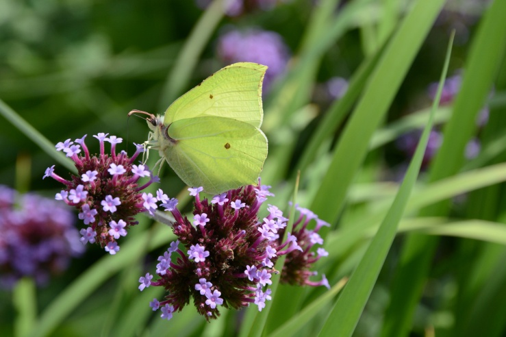 Garden Brimstone Butterfly West Sussex Bepton
