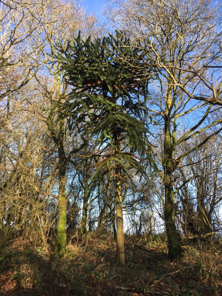 Monkey Puzzle Tree growing wild next to The South Downs Way in Sussex