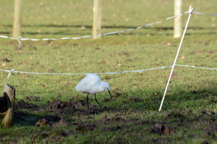 Little Egret The South Downs near Midhurst Bepton