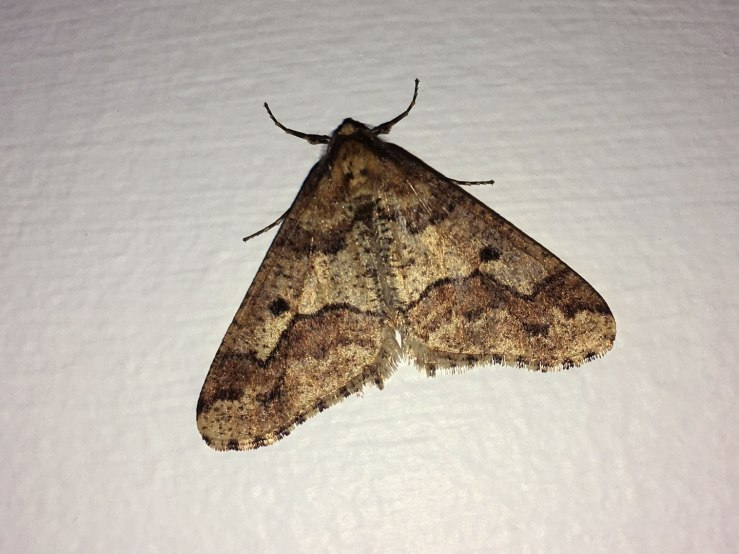 Mottled Umber Moth December
