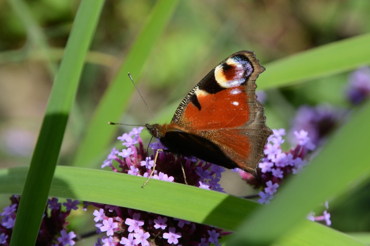 Peacock Butterfly in the garden Bepton West Sussex