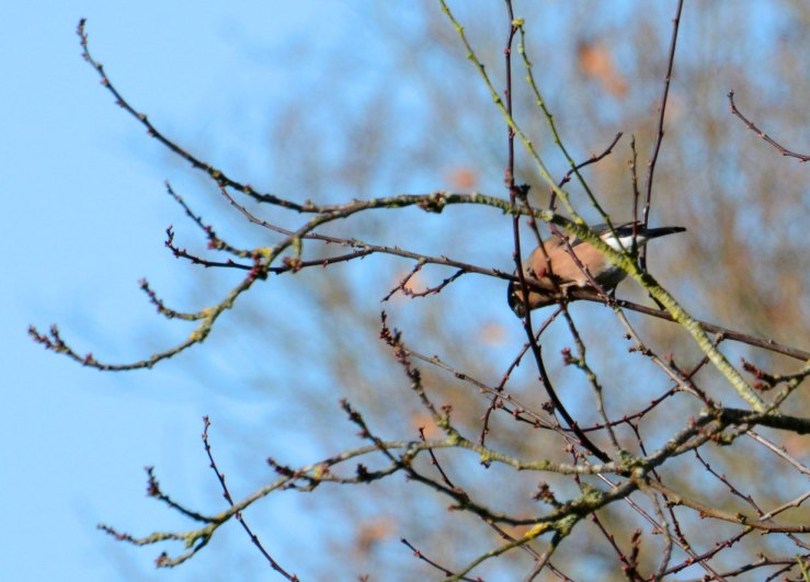Female Bullfinch in Cherry Tree