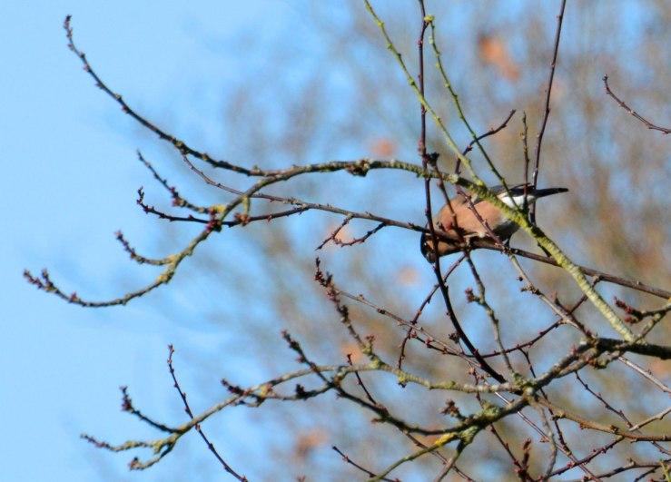 Female Bullfinch in Cherry Tree