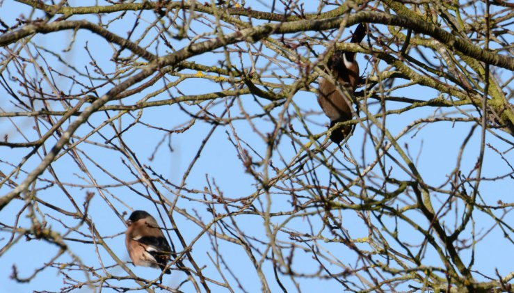 Pair of Bullfinch in Cherry Tree