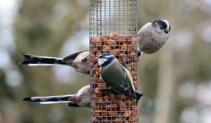 Long tailed tit with 2 tails
