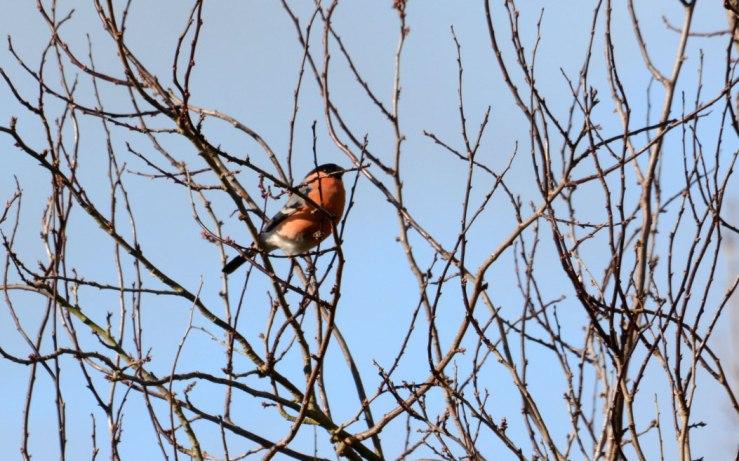 Male Bullfinch in Cherry Tree