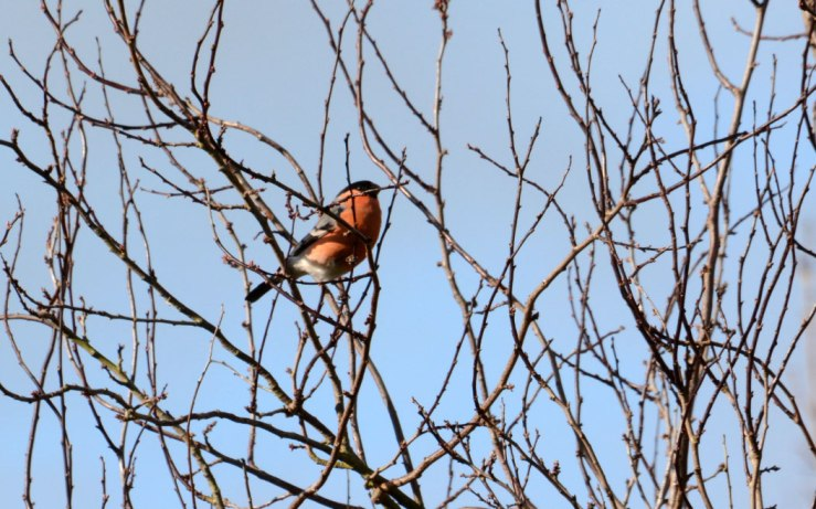 Male Bullfinch in Cherry Tree