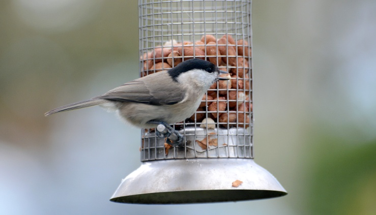 March tit or willow tit identification