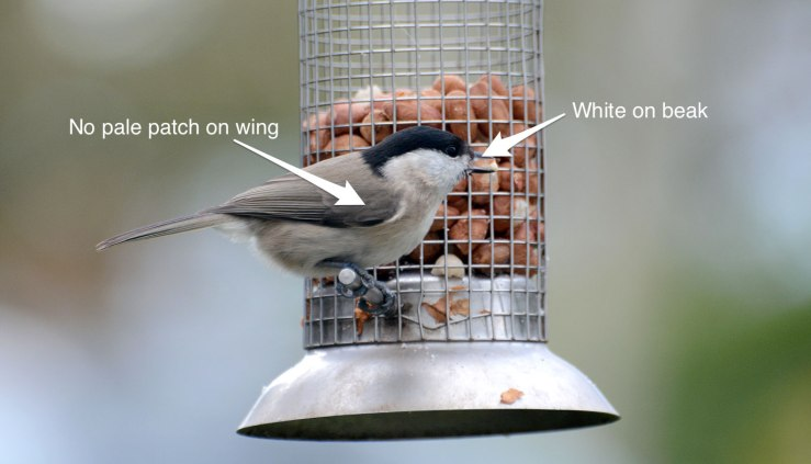 Marsh tit recognition