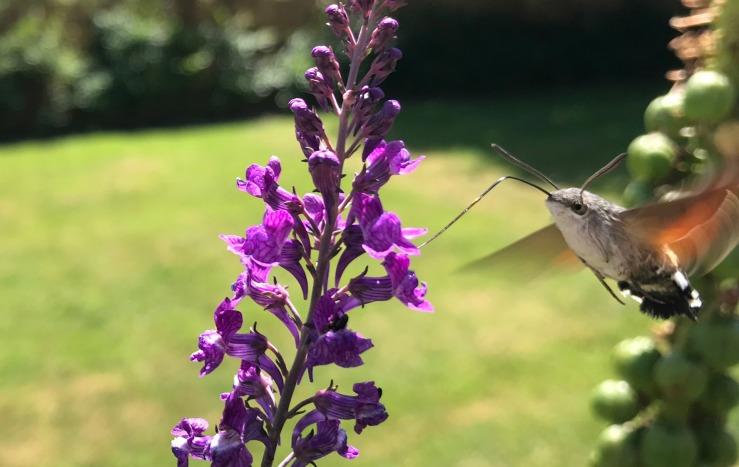 Humminbird Hawk Moth Bepton Sussex June 2018